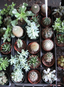 "Cool little ""Cacti"" at the Farmer's Market"