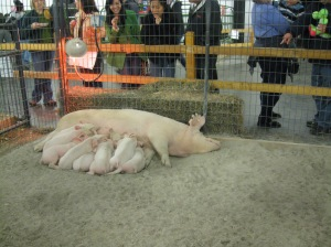 The Mama pig and her babies always has the biggest crowd